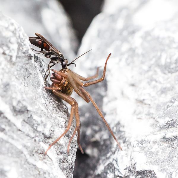 Ameise Trgt Betubte Spinne